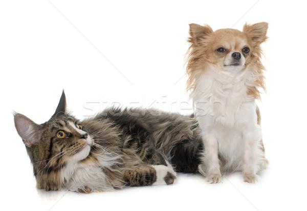 Maine cat cane amici studio gattino Foto d'archivio © cynoclub