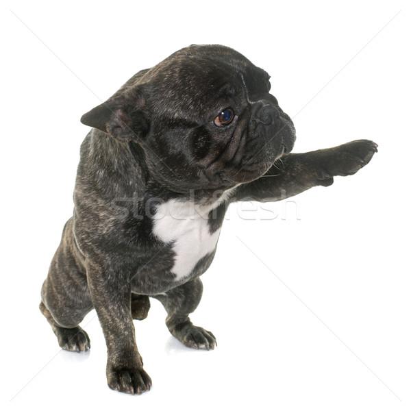 Stock fotó: Barna · francia · bulldog · mancs · fehér · állat