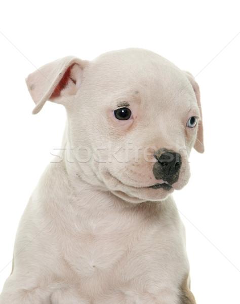 щенков Американский бульдог белый портрет ПЭТ Сток-фото © cynoclub