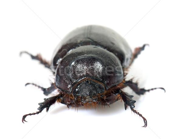 female European rhinoceros beetle Stock photo © cynoclub