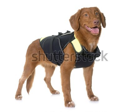 Nova Scotia Duck Tolling Retriever and rescue jacket Stock photo © cynoclub