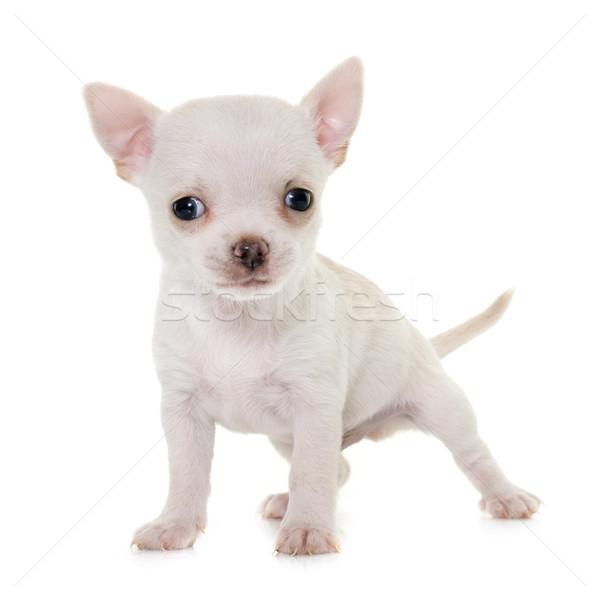 Kutyakölyök stúdió fehér díszállat fehér háttér fajtiszta Stock fotó © cynoclub