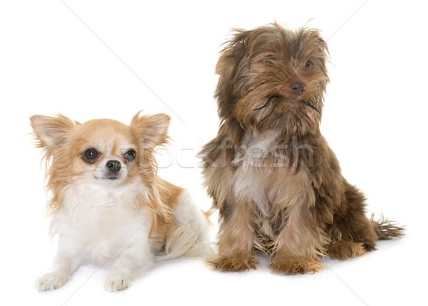 Chocolade puppy yorkshire terriër studio Stockfoto © cynoclub