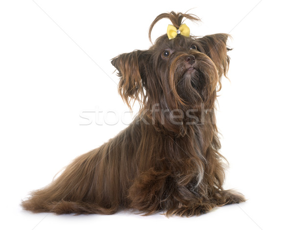 chocolate yorkshire terrier Stock photo © cynoclub