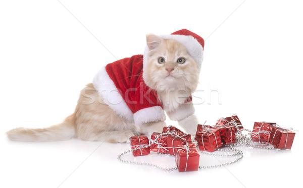 Karácsony Maine kiscica fehér macska játék Stock fotó © cynoclub