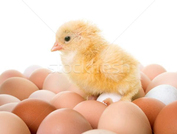 Csirke tojások fehér tojás ipari állat Stock fotó © cynoclub