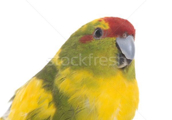 Red-fronted Kakariki parakeet Stock photo © cynoclub