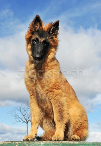 Cucciolo pastore belga ritratto seduta cielo blu Foto d'archivio © cynoclub