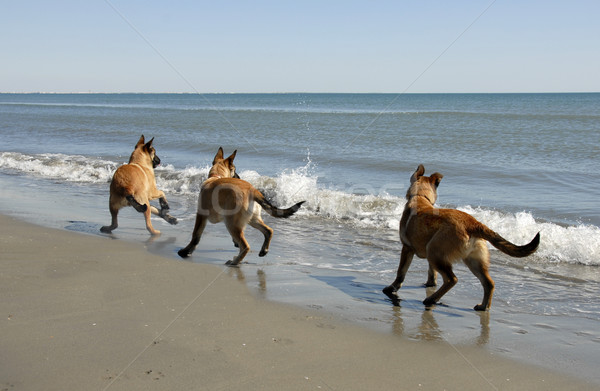 three malinois and the sea Stock photo © cynoclub