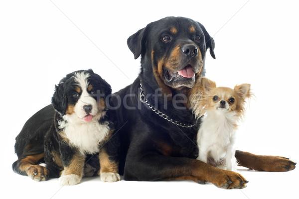 Trzy psów portret berneński pies pasterski młodych Zdjęcia stock © cynoclub