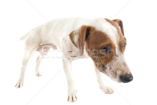 wounded jack russel terrier Stock photo © cynoclub