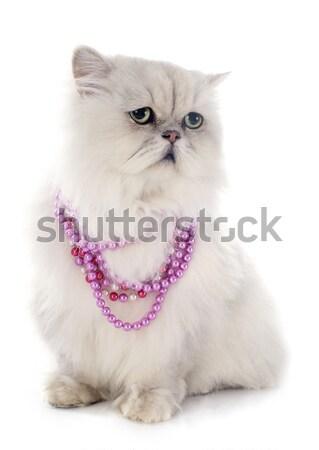 white cat Stock photo © cynoclub