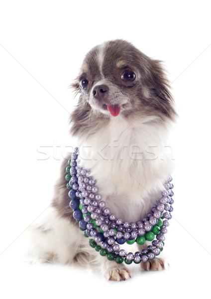 Stok fotoğraf: Köpek · yavrusu · portre · sevimli · takı · beyaz
