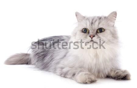 ペルシャ猫 白 猫 小さな 頭 女性 ストックフォト © cynoclub