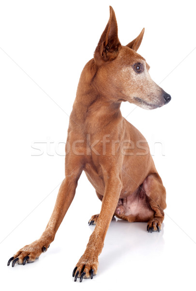 senior miniature pinscher Stock photo © cynoclub