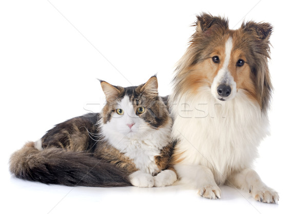 shetland dog ans maine coon cat Stock photo © cynoclub