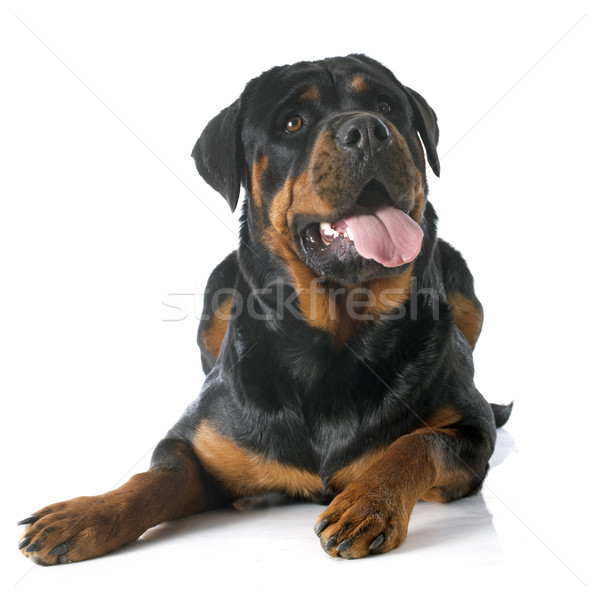 Rottweiler portrait blanche Homme animal Photo stock © cynoclub