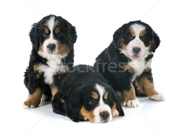 Cuccioli cane tre bovaro del bernese bianco gruppo Foto d'archivio © cynoclub