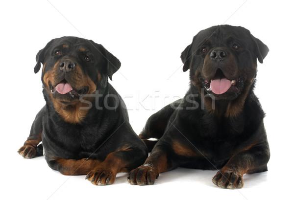 собака пару женщины ПЭТ белом фоне Сток-фото © cynoclub