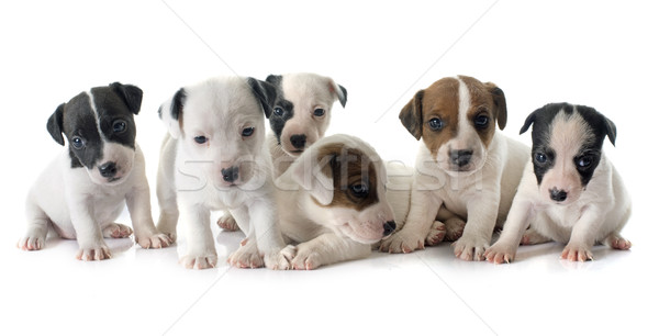 puppies jack russel terrier Stock photo © cynoclub