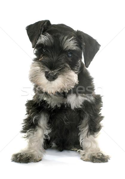 Cachorro miniatura schnauzer branco cão Foto stock © cynoclub