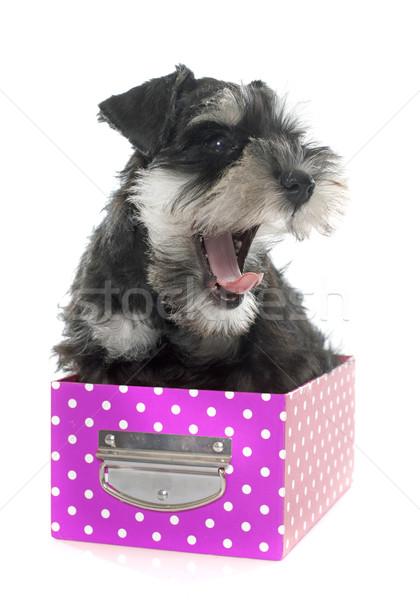 Welpen Miniatur Schnauzer weiß Hund Feld Stock foto © cynoclub
