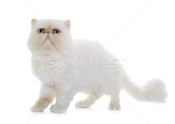 Witte perzische kat ogen Blauw dier kitten Stockfoto © cynoclub