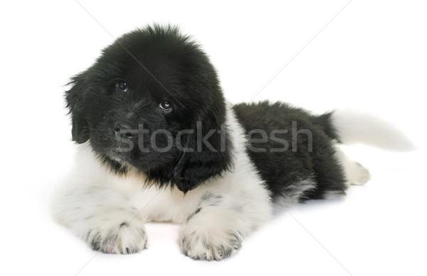 Czarno białe szczeniak nowa fundlandia psa biały czarny Zdjęcia stock © cynoclub