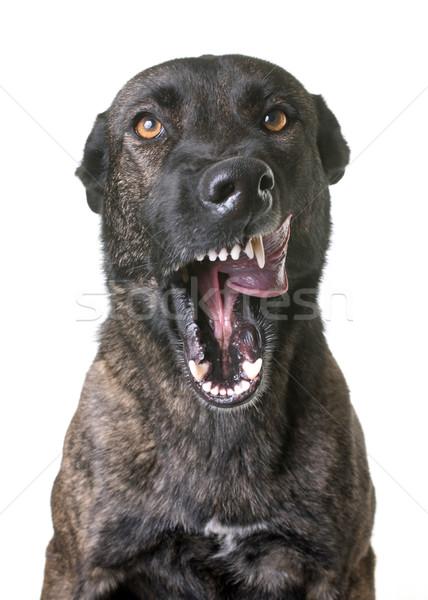 Foto stock: Agresivo · holandés · pastor · estudio · blanco · perro