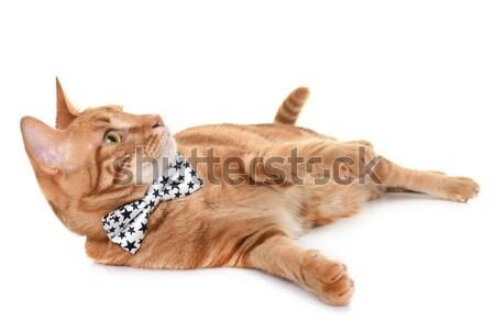 имбирь кошки студию белый назад играет Сток-фото © cynoclub