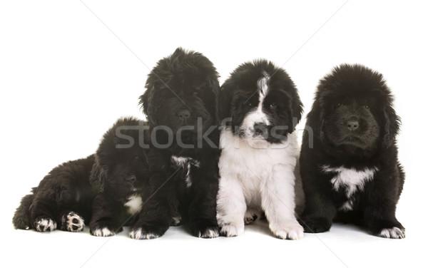 Szczeniąt nowa fundlandia psa biały czarny zwierząt Zdjęcia stock © cynoclub