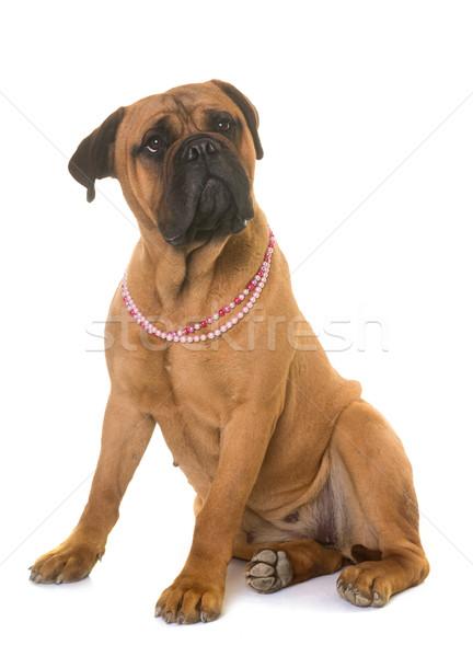 Cachorro touro mastim cão animal animal de estimação Foto stock © cynoclub
