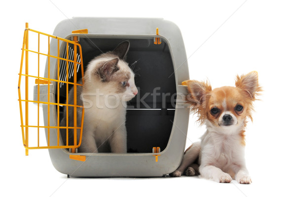 kitten in pet carrier and chihuahua Stock photo © cynoclub