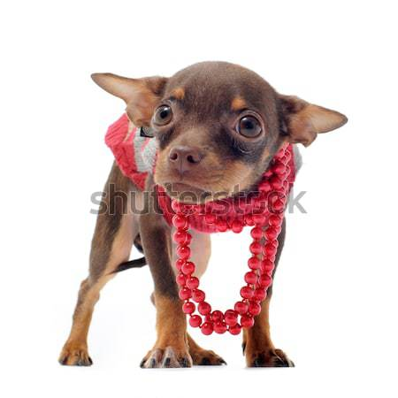 sad chihuahua with pearl collar Stock photo © cynoclub