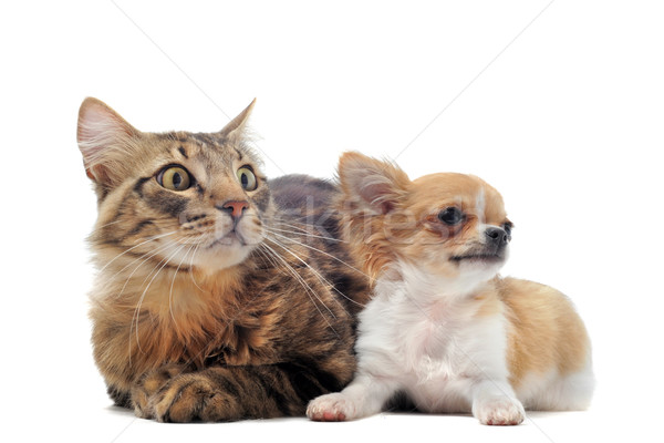 puppy chihuahua and cat Stock photo © cynoclub