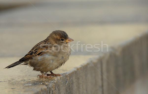 Serçe küçük tüy hayvan kasaba bir Stok fotoğraf © cynoclub