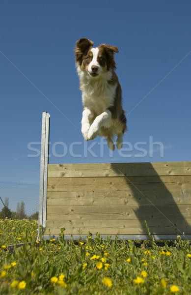 jumping australian shepherd Stock photo © cynoclub