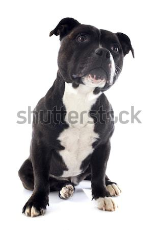 staffordshire bull terrier with tie Stock photo © cynoclub