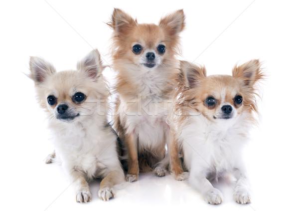 three chihuahuas Stock photo © cynoclub