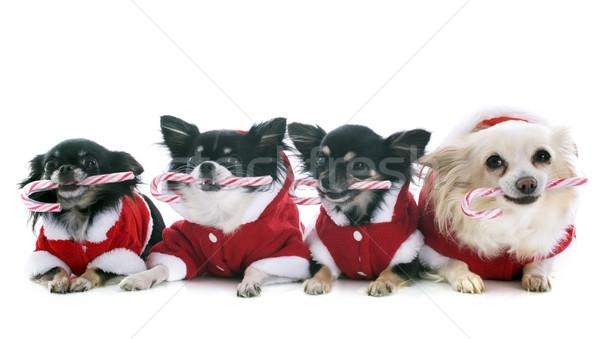 Сток-фото: конфеты · белый · собака · группа · настоящее · щенков