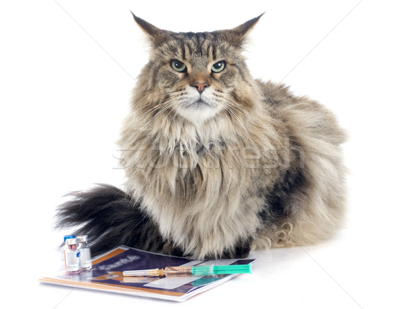 maine coon and syringe Stock photo © cynoclub
