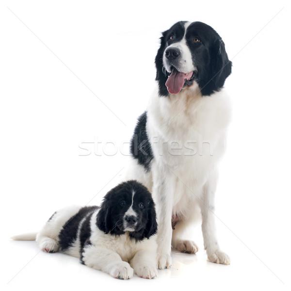 Stock fotó: Kutyák · fajtiszta · fehér · anya · fekete · fiatal