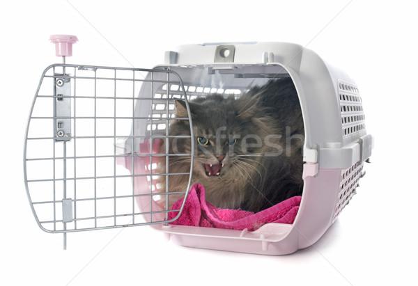 怒っ ペルシャ猫 白 ボックス 口 歯 ストックフォト © cynoclub