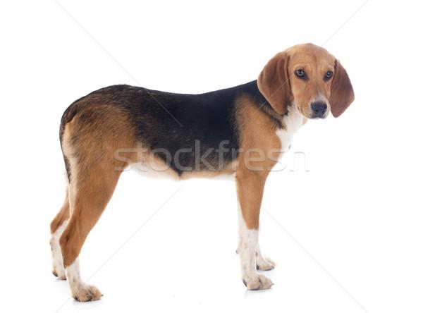Beagle Harrier Stock photo © cynoclub