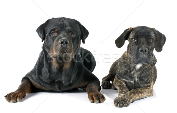 puppy cane corso and rottweiler Stock photo © cynoclub