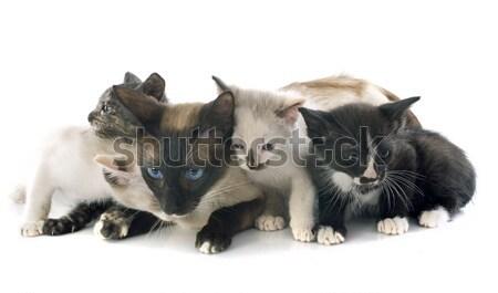 Сток-фото: кошки · котенка · красивой · сиамские · кошки · матери