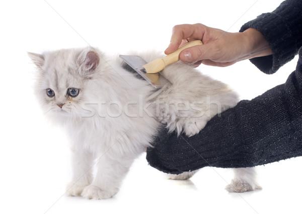 Kotek biały kot młodych szczotki białe tło Zdjęcia stock © cynoclub