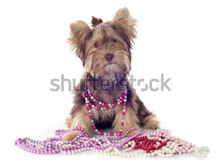 Foto stock: Chocolate · yorkshire · terrier · branco · cão · jóias