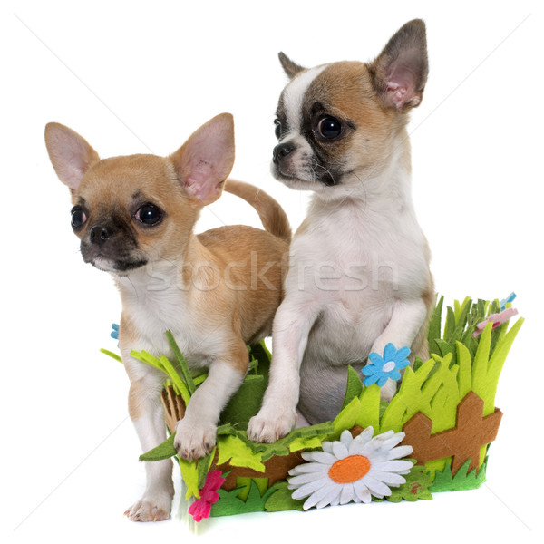 щенки короткошерстная собака белый щенков ПЭТ Сток-фото © cynoclub