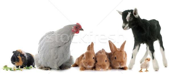 group of farm animals Stock photo © cynoclub